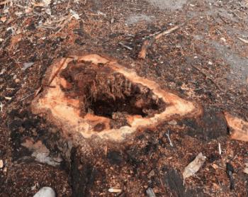 Termites in Stump near house