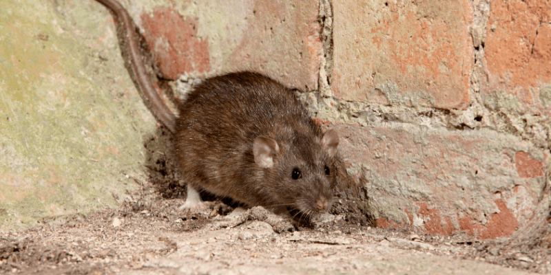 rat-mice-rodent-control-brisbane