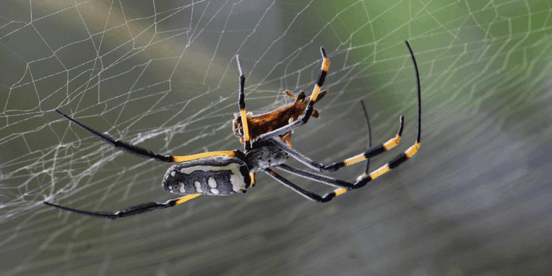 spider-treatment-brisbane