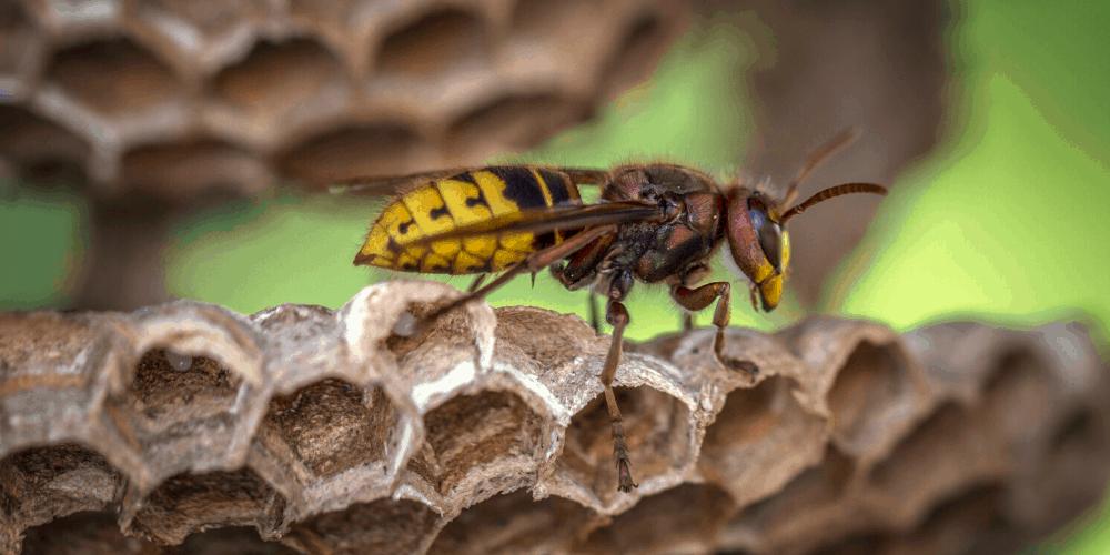 wasp-control-brisbane