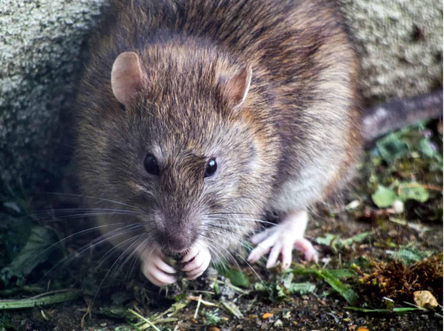 remove rats