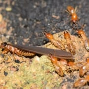 termites leaving mound