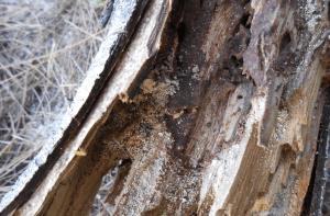 termites in tree
